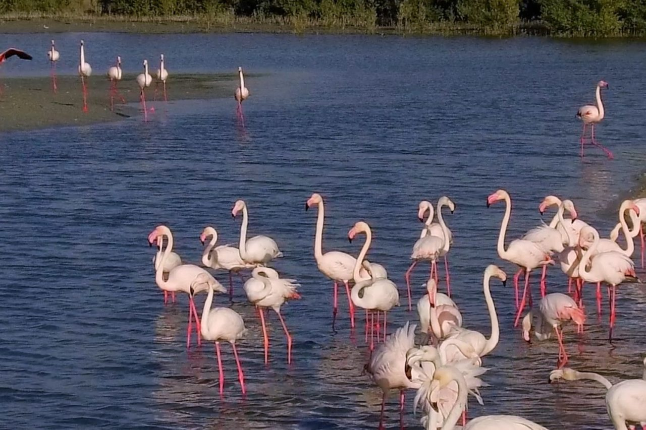free-things-to-do-in-dubai-flamingos-in-dubai-ras-al-khor-wildlife-sanctuary-Cropped
